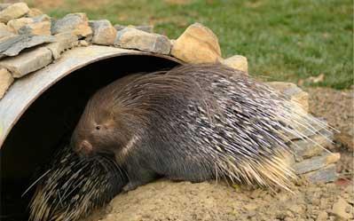 ventura-zoo-consultancy-porcupine-1