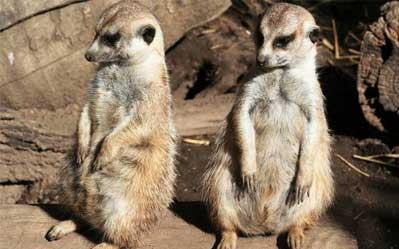 zoo-consultancy-meerkats-1