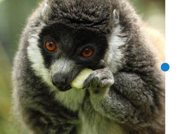 lemur-conservation-3